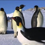 BBC: Emperor Penguins First Encounter with the PenguinCam