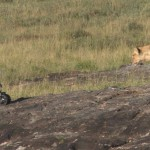 National Geographic: Photographing Lions With Robots