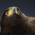 The Amazing Harris Hawk Photo Shoot