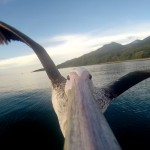 Pelican Learns To Fly (with a GoPro on its Beak)